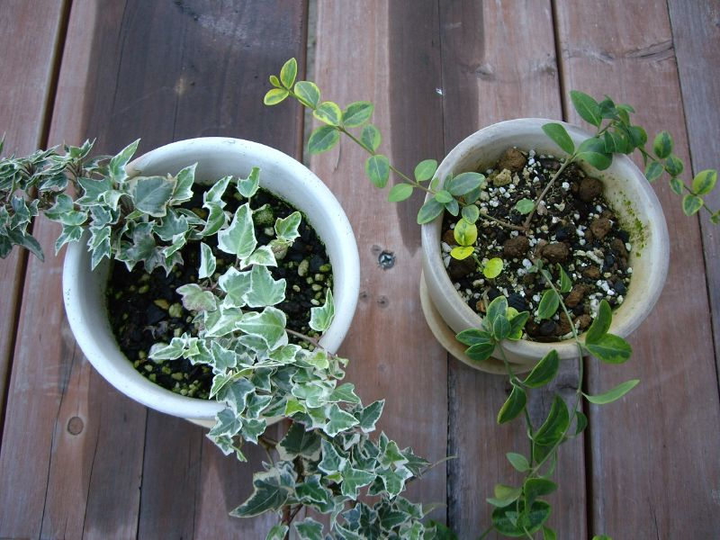 Hedera Helix, english ivy, air purifying plants, air cleaning plants