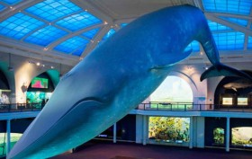 Blue Whale, Museum of Natural History, cleaning blue whale
