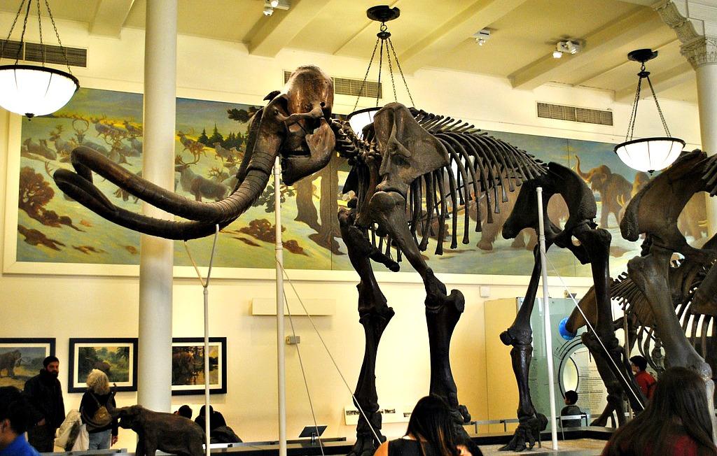Mastodon, American Museum of Natural History