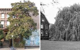 NYC landmarked trees, Magnolia Grandiflora, Weeping Beech Tree