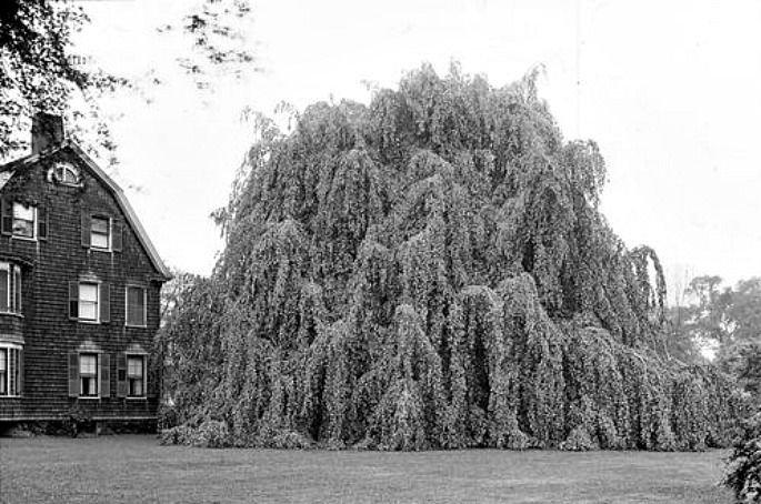 weeping beech tree, Weeping Beech Park