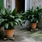 Iron-plant 10 Best Plants for Apartment Dwellers