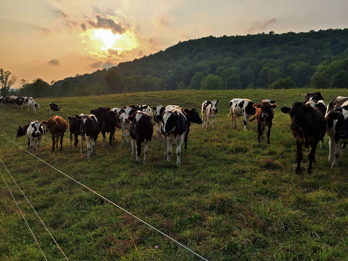 charlotte valley farm, scenery, grounds, land, cows