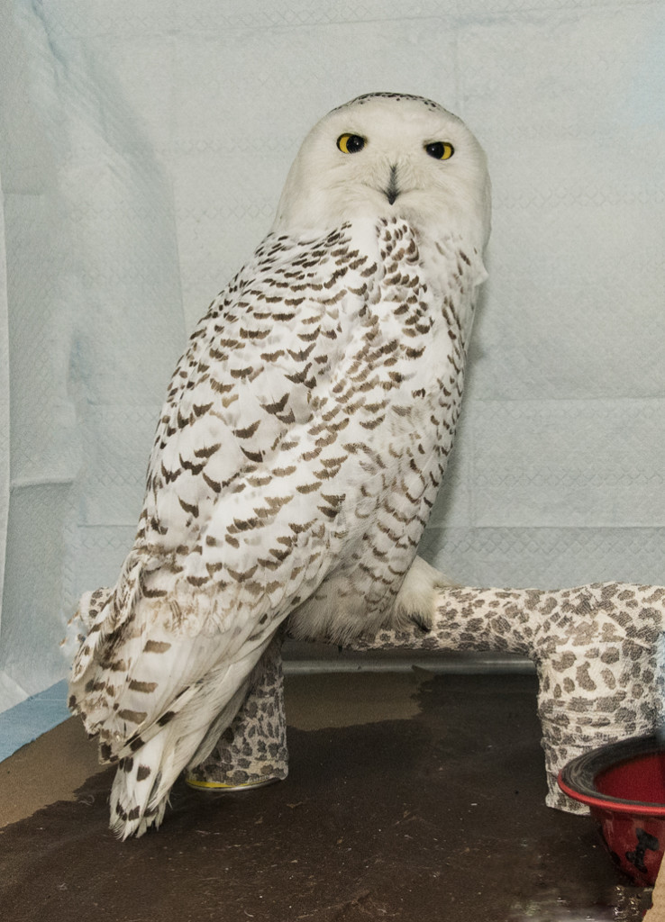 AYB_7001 Hedwig the Snowy Owl