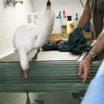 Wild Bird Fund, Snow goose