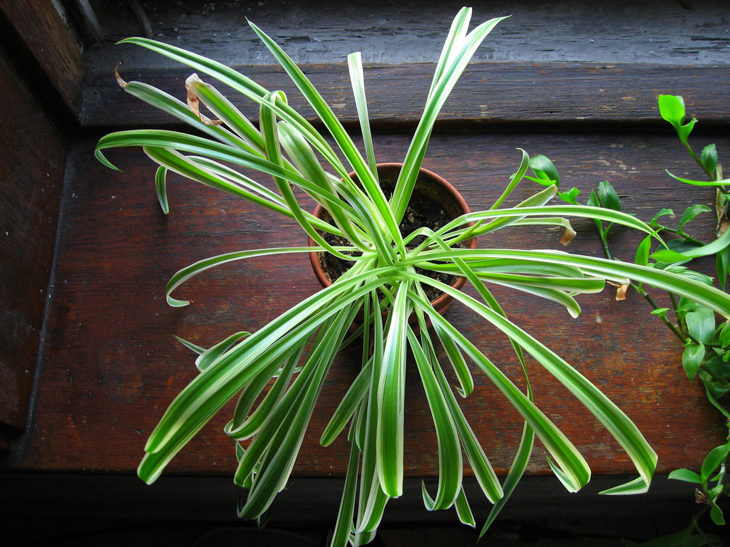 spider plant, air purifying plant, air cleaning plant