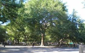 Tompkins Square park, HareKrishnaTree