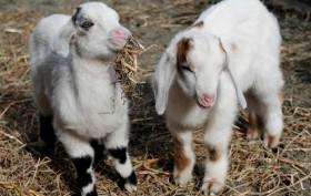 baby goats, goat kids, goat billies