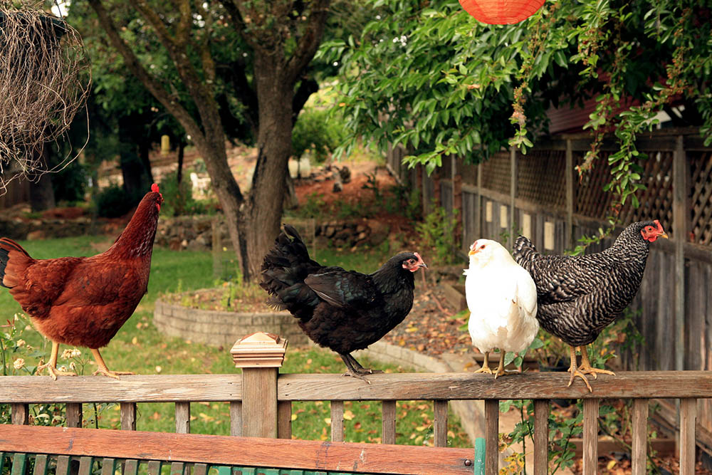 Ordinaire Backyard Chickens