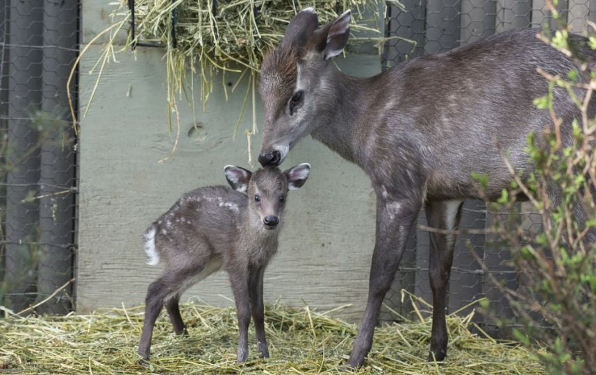 Baby tufted deer is the Prospect Park Zoo's newest addition