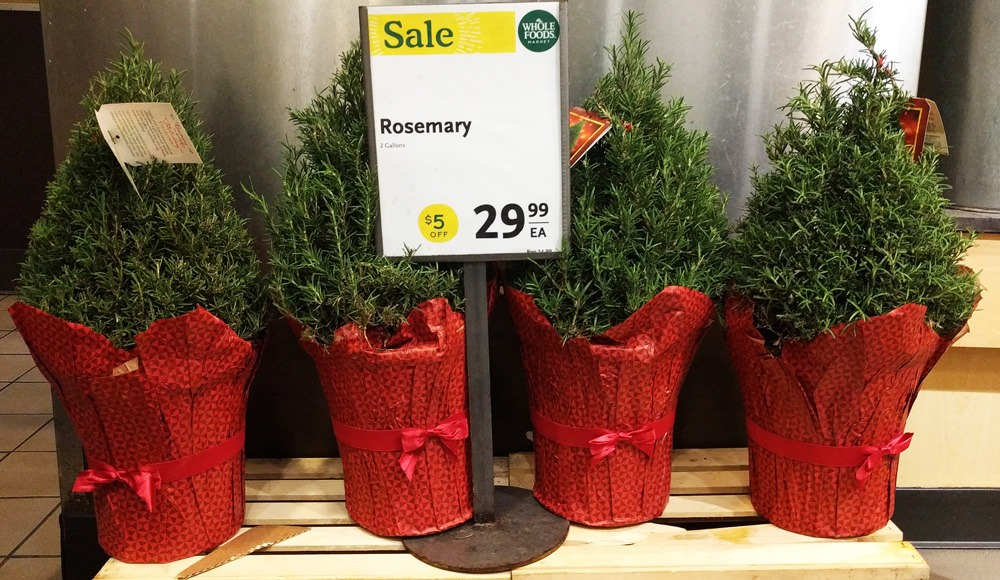 rosemary christmas tree
