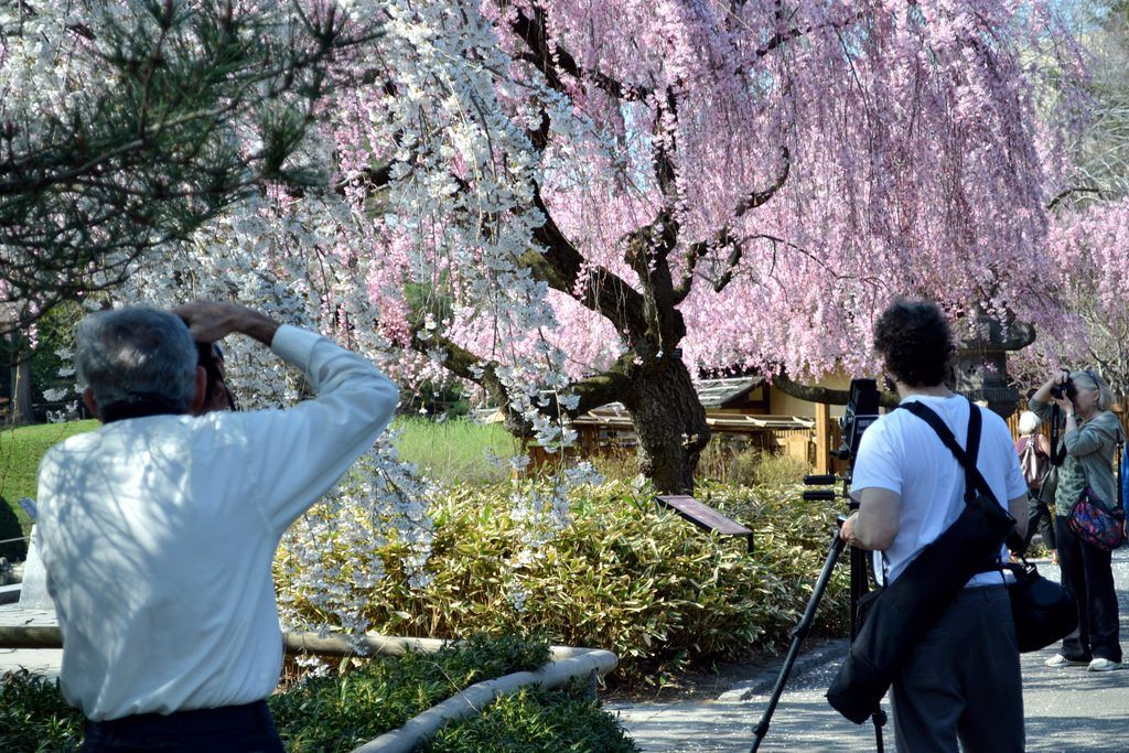 Track The Cherry Blossoms At The New York And Brooklyn Botanical Gardens 6sqft