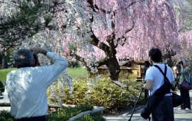 Brooklyn Botanic Garden, Cherry Blossoms, Cherry Tracker