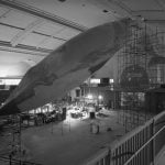 american museum of natural history, blue wale, hanging blue whale, hall of ocean life,