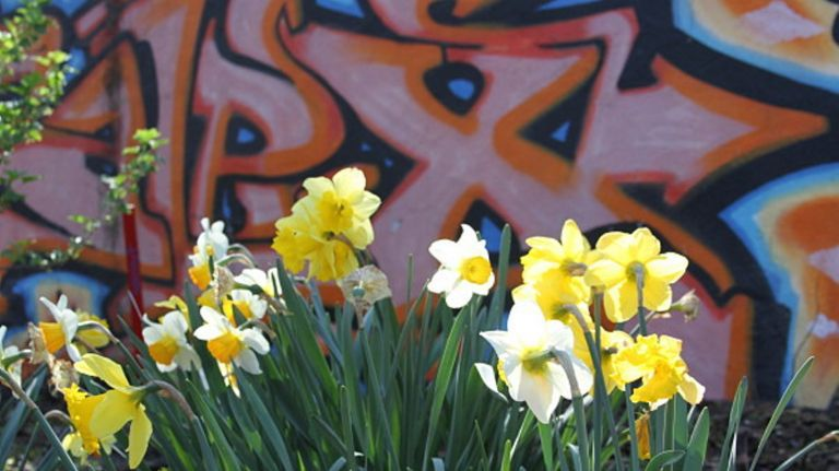 daffodil project, 9/11