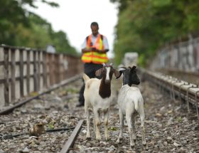 goatham, goats, upper west side
