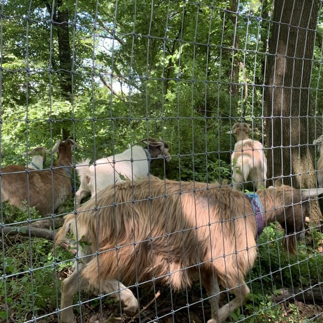 24 weed-eating goats have arrived in Riverside Park