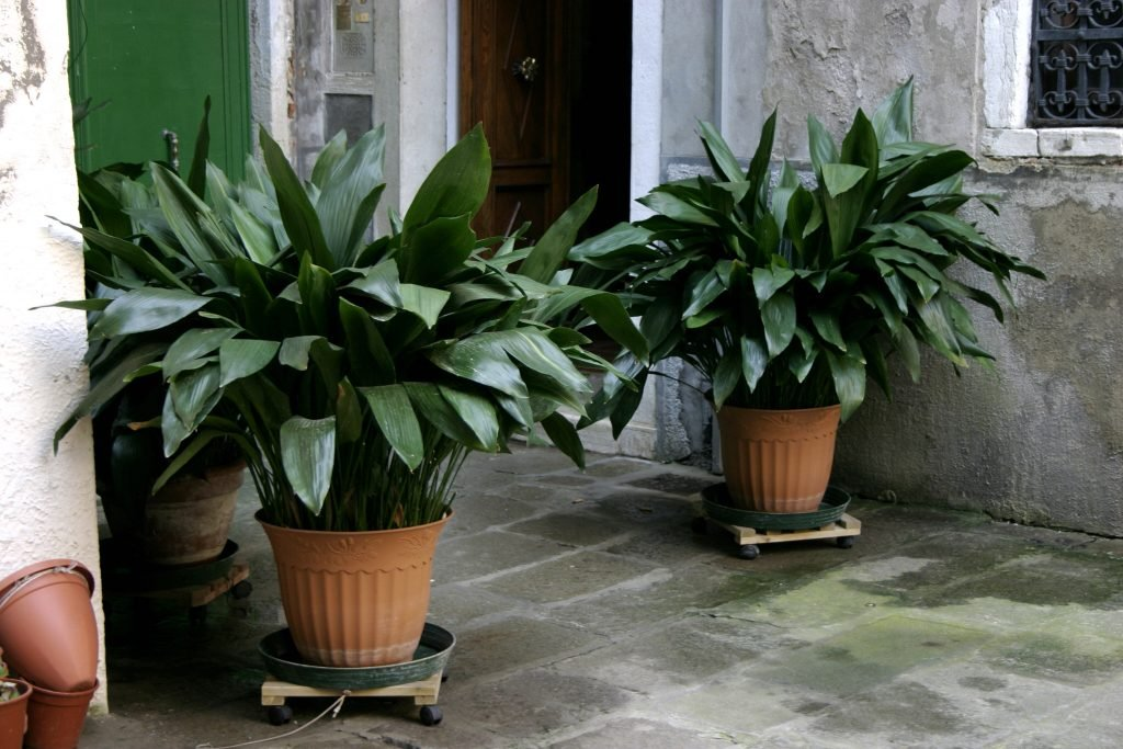 cast iron plant, houseplant, potted plant