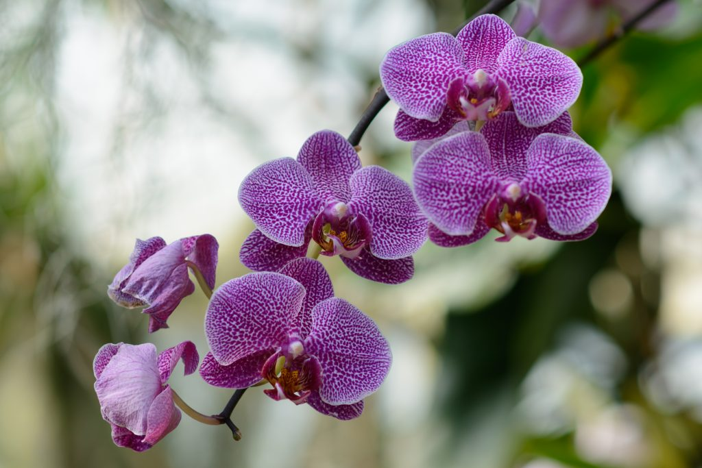 orchid, flower, plant