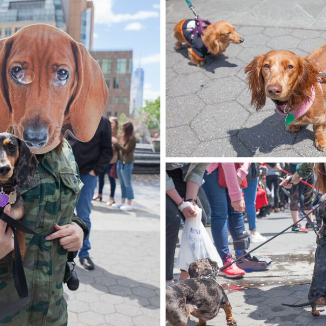 This Saturday, partake in a virtual dachshund festival for peak cuteness